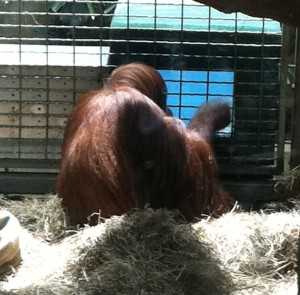 (Here's something you don't see every day: an orangutan playing video games.)