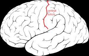 The central sulcus, or Rolandic fissure, of the brain